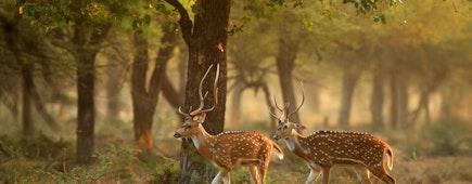 spotted deers or axis deer in nature habitat