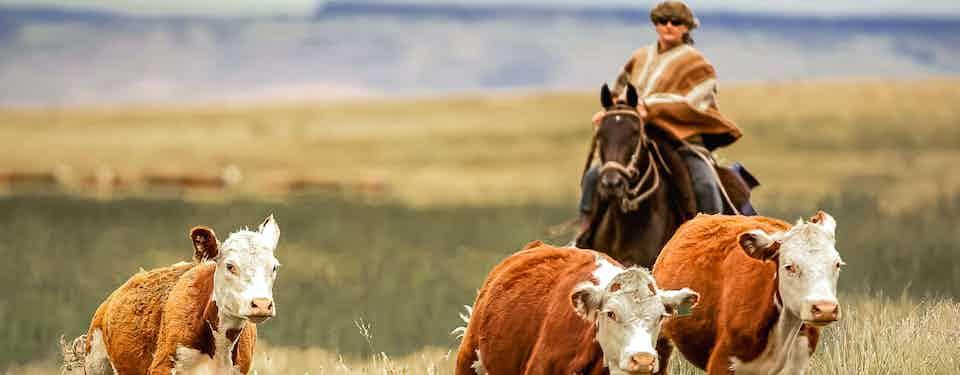 huechahue-cattle-jane