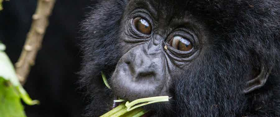 Behind the scenes at a gorilla naming day