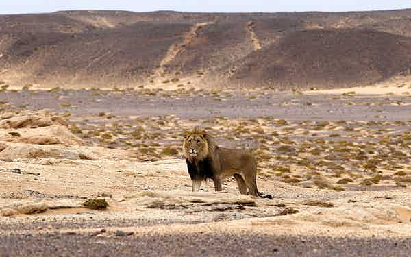 Desert-Lion-Conservation (1)