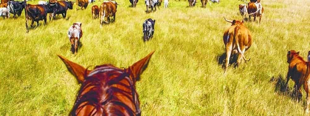 HERDING CATTLE ON HORSEBACK IN MONTANA