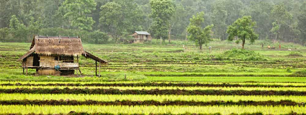 RICE PADI PLANTING IN LAOS