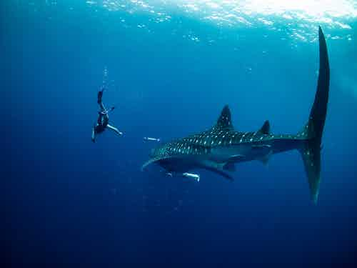 whale shark madagascar editorial only