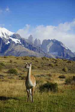 Wild-Guanaco-in-Las-Torres-National-Park (1)