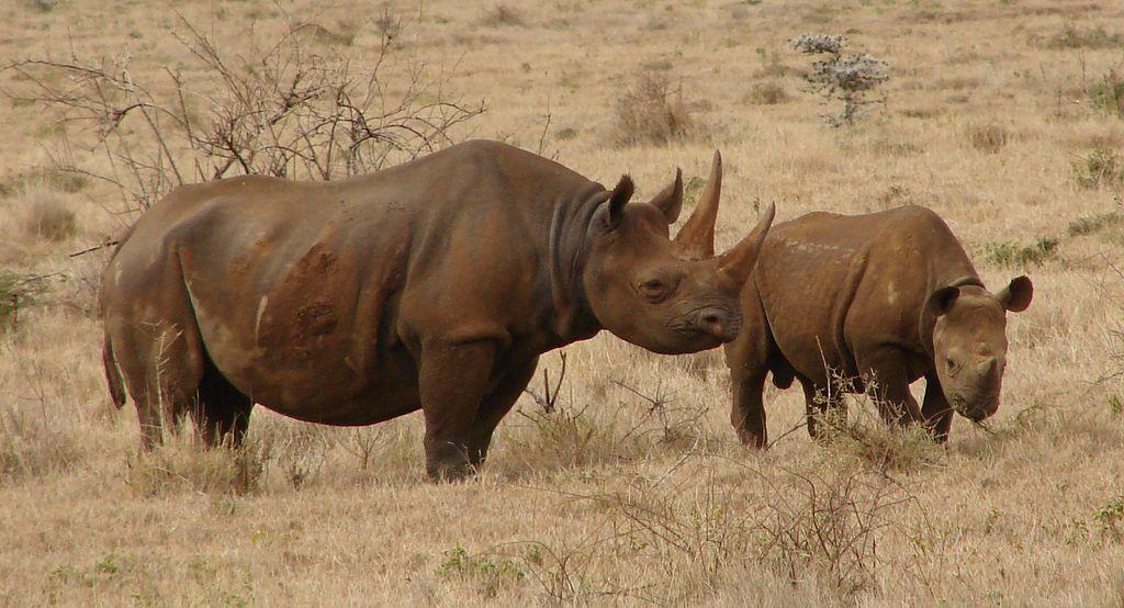 1024px-Black_Rhinos_Kenya