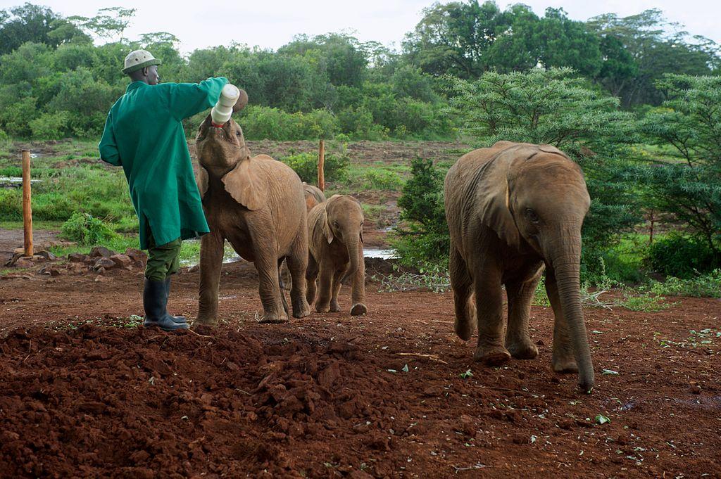 A_Caretakers_Feeds_a_Baby_Elephant_at_the_Sheldrick_Elephant_Orphanage_16735530794