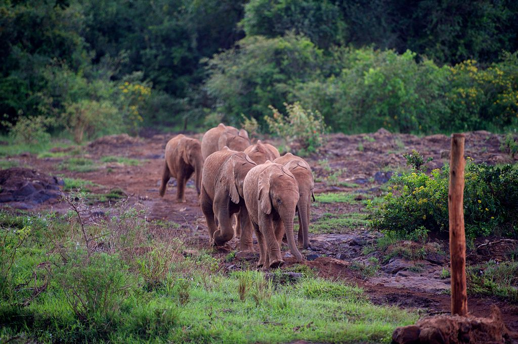 A_Group_of_Baby_Elephants_Race_for_Food_from_Caretakers_at_the_Sheldrick_Elephant_Orphanage_16737778013