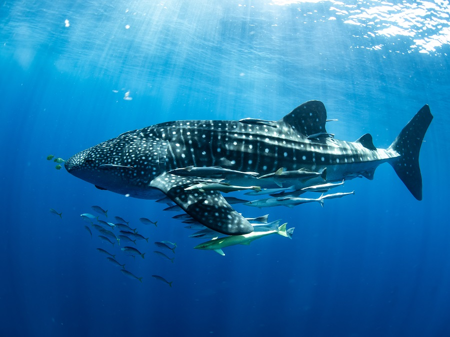 Madagascar whale shark project editorial only