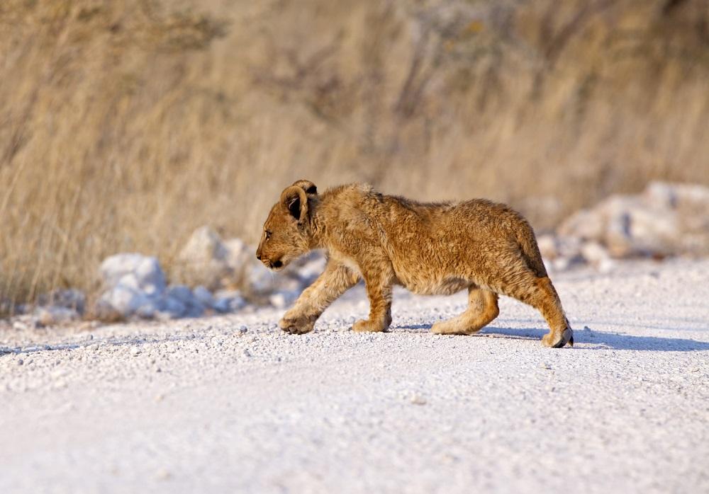 Etosha lion cub