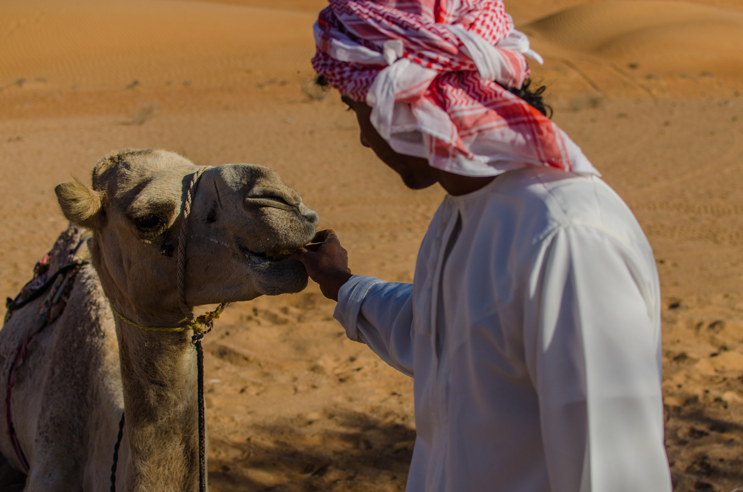 Humeid-gives-his-camel-a-snack (1)