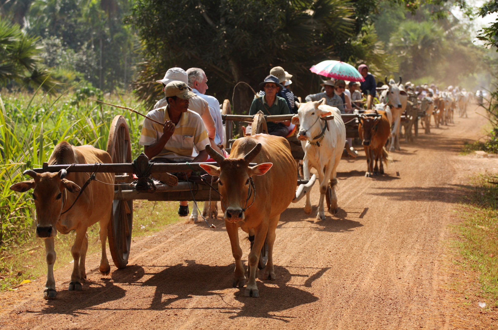 Ox cart ride in the countryside