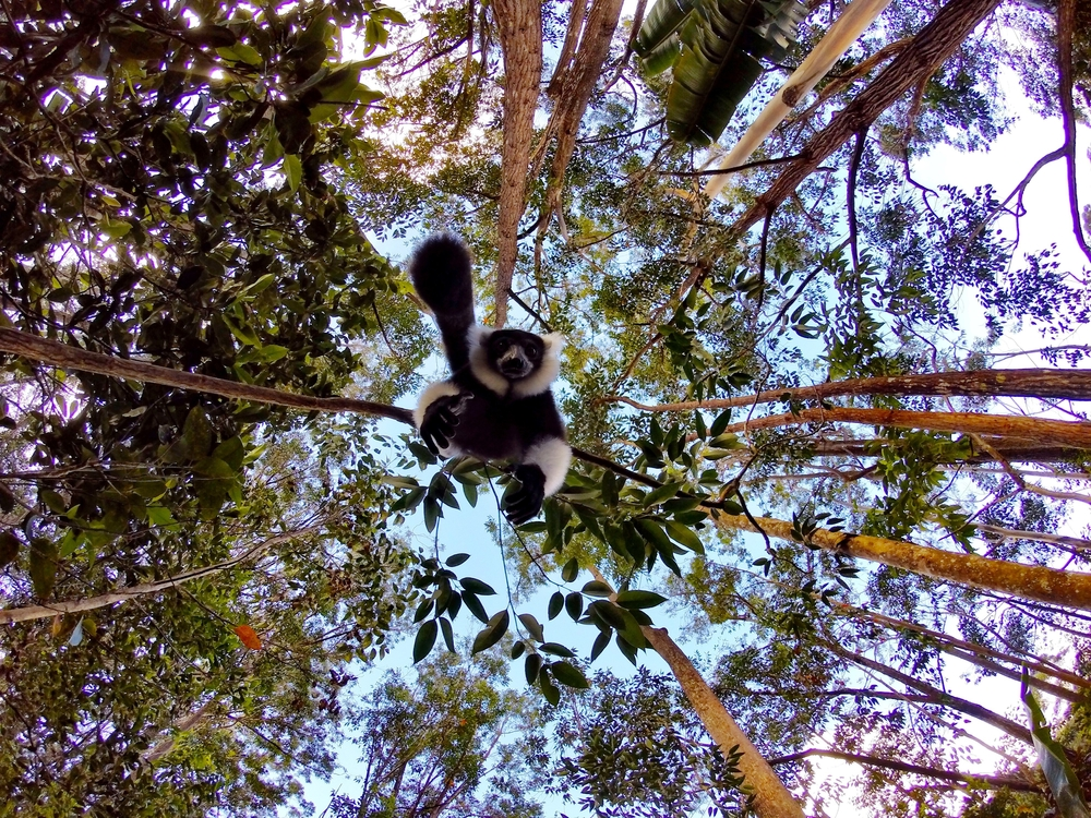 Black and white ruffled lemurs can also be found on the island.
