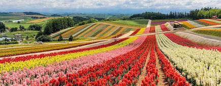 Colorful flower field in sunny day, Biei, Hokkaido