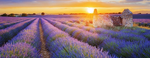 beautiful purple lavender filed in Valensole. Provence, France