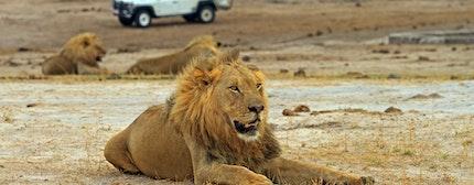 safari game vehicle and a lion, Hwange National Park, Zimbabwe