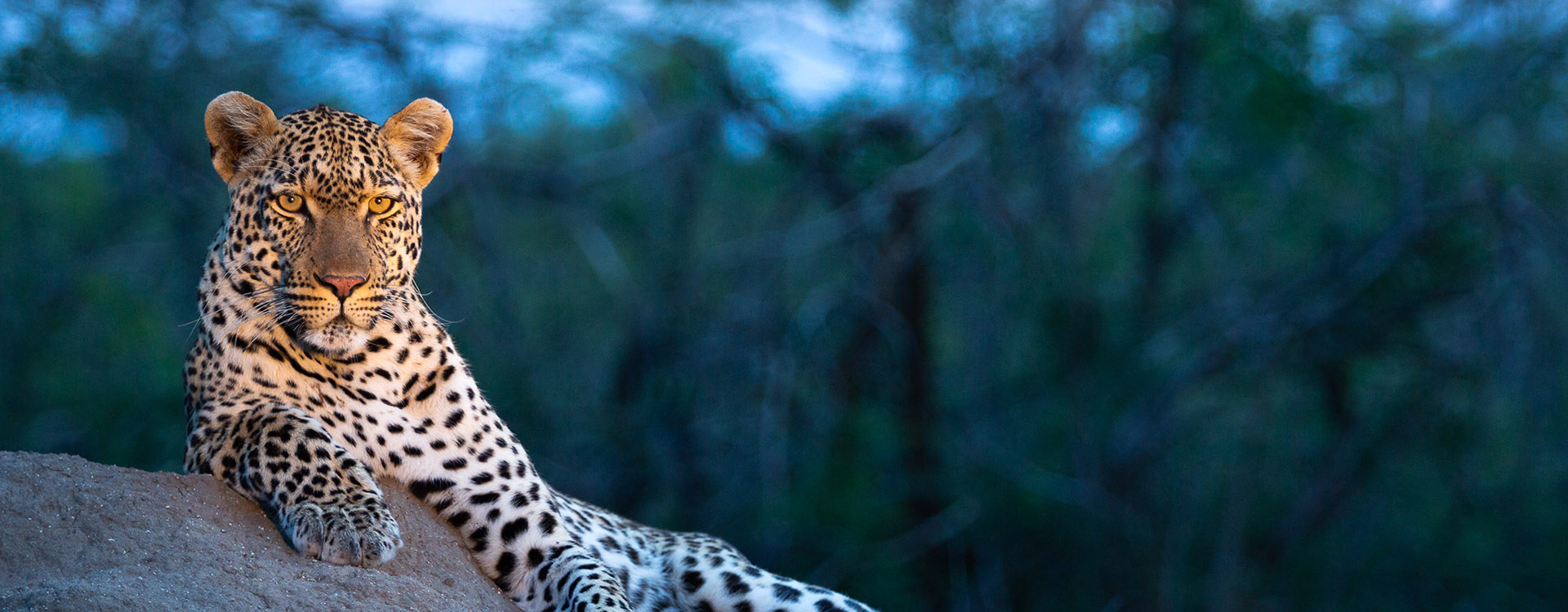 Leopard, Kruger National Park, South Africa