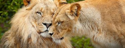 Couple of Lions at Chobe National Park, Borswana