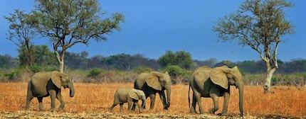 Elephants in Luangwa
