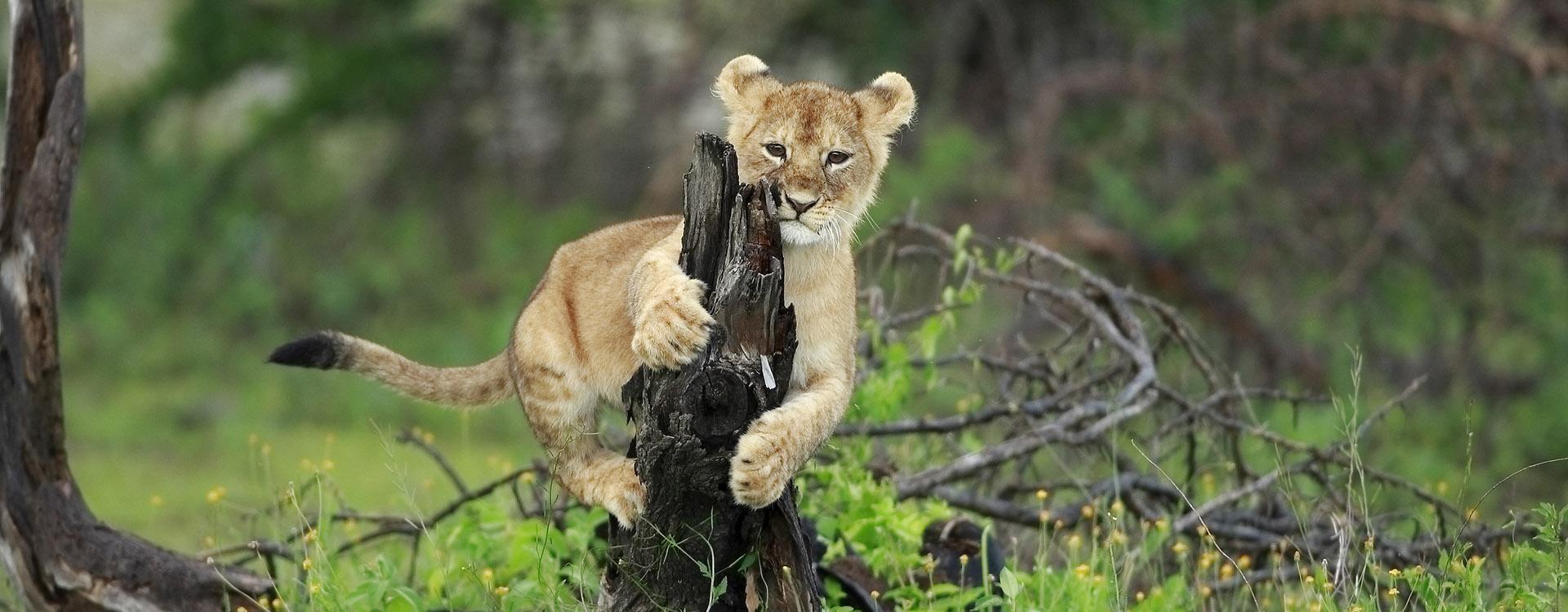 Lion cub play on little tree