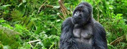 A silverback mountain gorilla in a rainforest in Rwanda