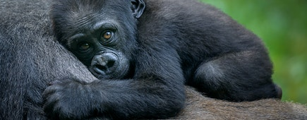 A gorilla baby, Rwanda