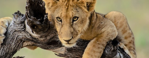 Close up of a young lion