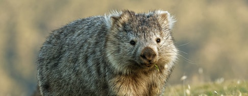 Wombat in the Tasmanian scenery, eating grass in the evening on the island near Tasmania