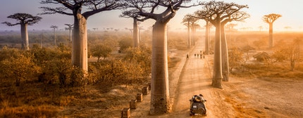Beautiful Baobab trees avenue of the baobabs in Madagascar