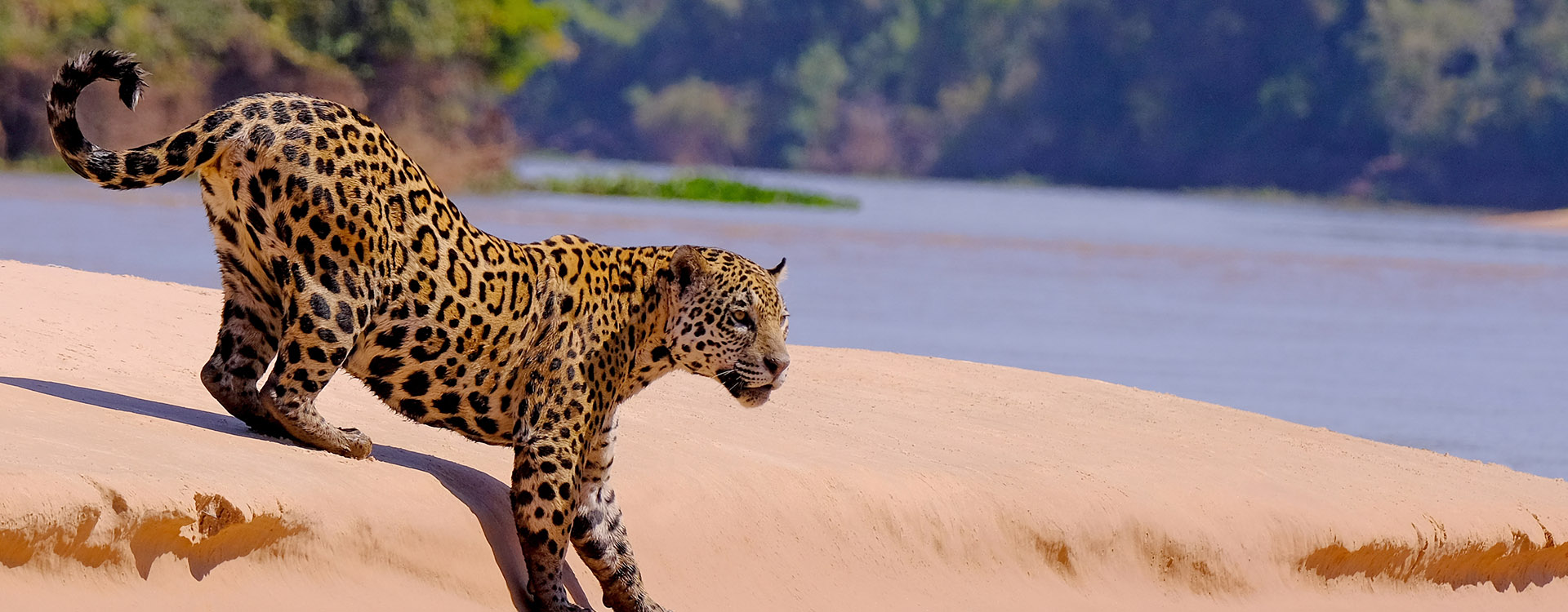 Jaguar, Panthera Onca, Cuiaba River, Porto Jofre, Pantanal Matogrossense, Mato Grosso do Sul, Brazil South America