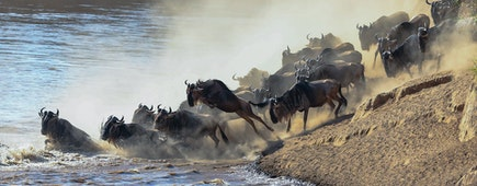 Wildebeest river crossing during the annual migration in the Masai Mara, Kenya