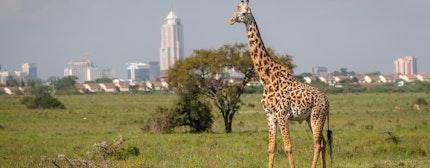 Giraffe in Nairobi city the capital of Kenya.