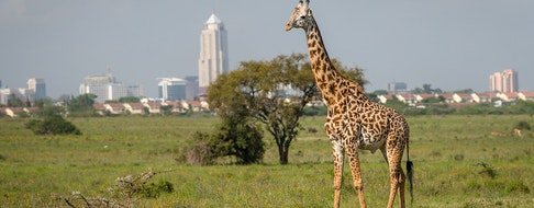 Giraffe in Nairobi city the capital of Kenya.