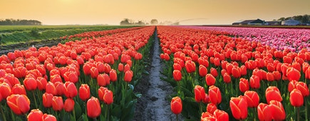 Beautiful colored tulip fields in the Netherlands in spring at sunset