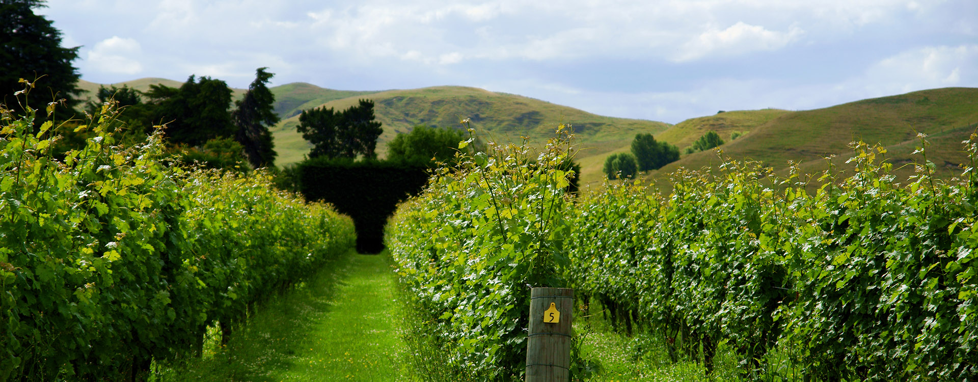 Vineyard rows on a clear sunny day in Napier Hawkes Bay New Zealand