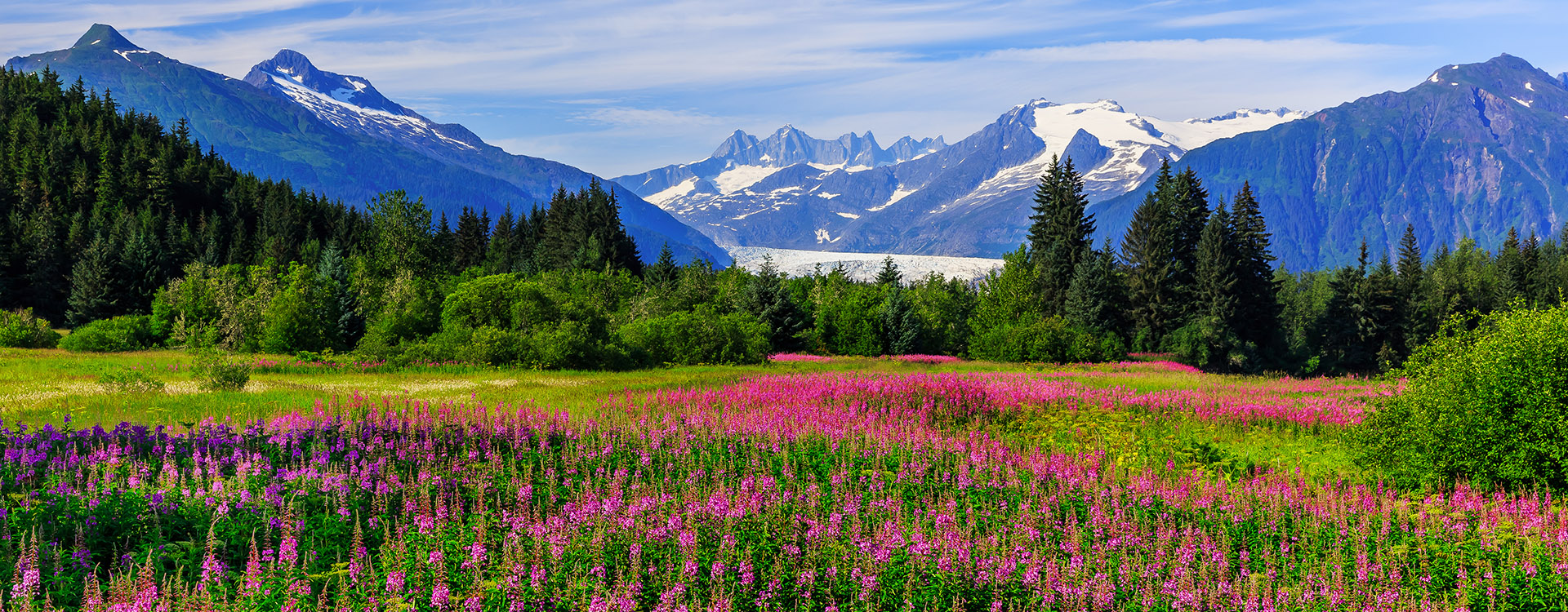 Juneau, Alaska. Mendenhall Glacier Viewpoint with Fireweed in bloom