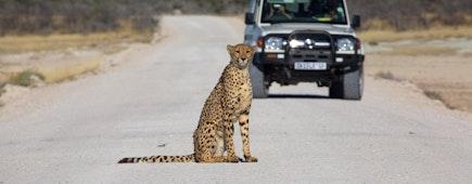 cheetah in the Etosha national park namibia
