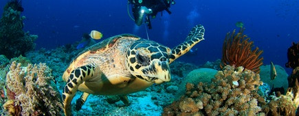Scuba diver observes ocean Turtle, coral reefs scuba diver in clear visibility waters in Raja Ampat