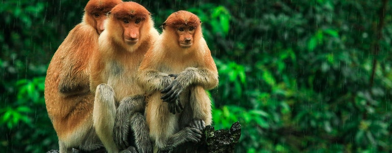 Three hiding Proboscis Monkeys looking in the trees, Borneo, Malaysia