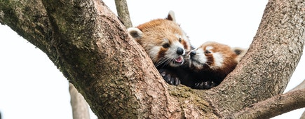 cute red panda pulling the tongue out curious couple on branch