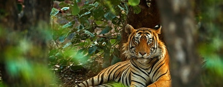 Indian tiger male with first rain, wild animal in the nature habitat, Ranthambore, India. Big cat, endangered animal