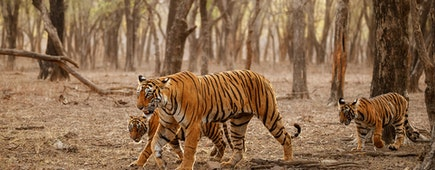 Dry area with beautiful indian tiger family. Panthera tigris