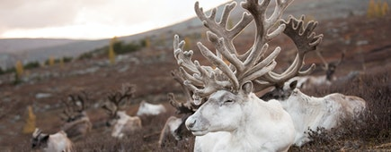 Old reindeer with magnificent antlers sleeping on an autumn morning. Khuvsgol, Mongolia