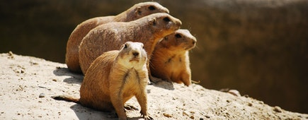 Prairie dogs in Christchurch, New Zealand