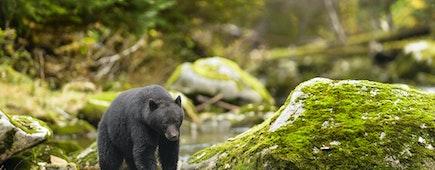 Black Bear (Ursus americans) - Under a Watchful Eye