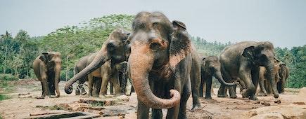 A herd of Sri Lankan Elephants near Kegalle in Central Province, Sri Lanka