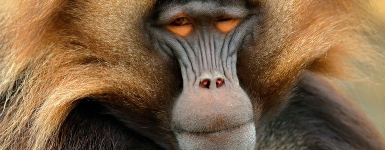 Gelada Baboon, portrait of monkey from African mountain.