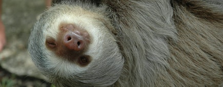 A three toed sloth giving a wink as he hangs from a branch, Osa Peninsula, Costa Rica