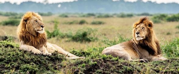 Angama Mara_Male Lions